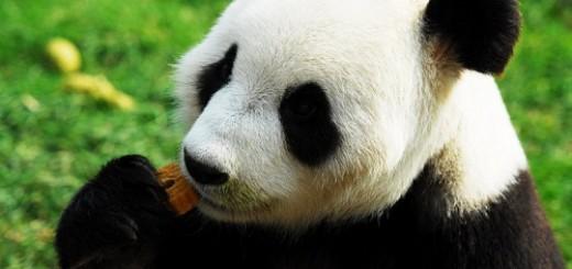 giant panda eat mooncakes  11091201