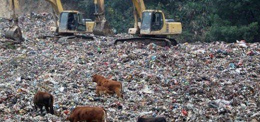 cattle in landfill 11110701