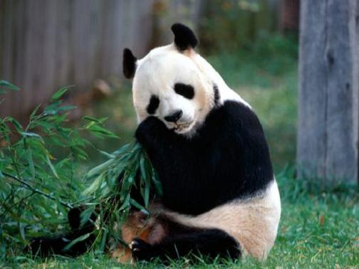 Cute Giant Pandas Are Kind Of Rare Bears Which Live In Temperatezone Bamboo Forests In Southwestern China They Are One Of The Rarest Animals In The World China Whisper Top 10 Rare Animals In China