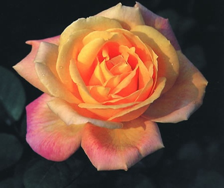 Top 10 flowers in chinese culture - Rosas chinas ...
