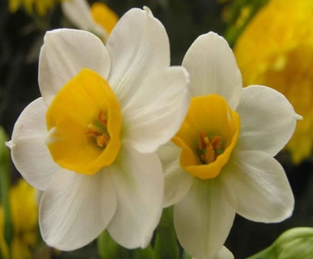 Top 10 flowers in chinese culture the narcissus is known in chinese language as the water goddess the flower is said to have occult value that it can rout out evil spirits mightylinksfo