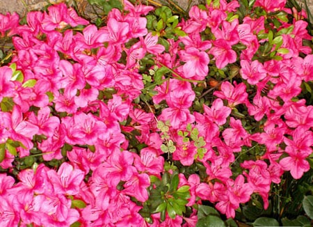 Azaleas Bloom In Spring And Open Various Colors Such As Red Pink White Their Flowers Often Last Several Weeks Colorful Represent Hiness