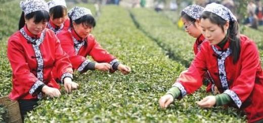 Tea-Production China