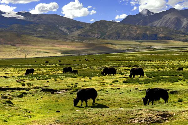 tibet pasture